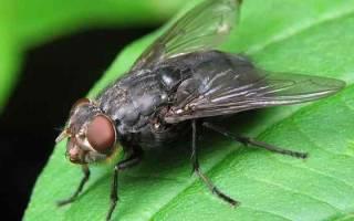 К чему сняться мухи. К чему снятся мухи во сне женщине — сонник мухи