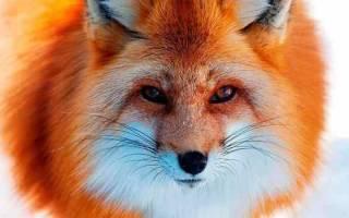 К чему снятся две лисы. Что сон грядущий нам готовит: к чему снится лиса? Видеть добрую лису во сне