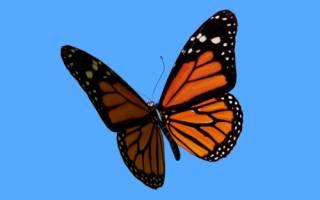 Прилетает бабочка. Бабочка залетела в дом: приметы
