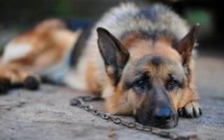 Сонник к чему снится собака на цепи. К чему снится Собака на Цепи? Превращение рыбы в собаку во сне