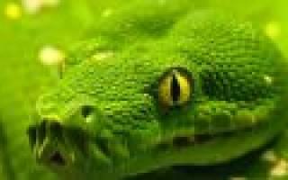 Разновидность зеленых змей. К чему снится, что напала змея? Сонник