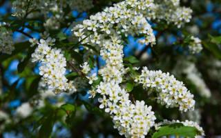 Сонник белая черемуха цветет. К чему снится черемуха: сонник
