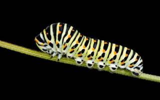 Что значит если снится гусеница. Гусеница к чему снится? К чему снятся гусеницы зеленые и черные? Белое и черное