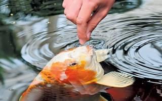 Приснилось что кормлю рыбок в пруду. Кормить рыбу по соннику