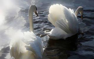 Видеть во сне белых лебедей. К чему снятся лебеди: летящие, плавающие, ручные и дикие