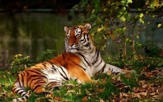 Тигр во сне сонник миллера. Приснился тигр – что это может значить? К чему снятся тигры и львы, много тигров