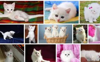 Когда снится маленький котенок. Маленький белый котенок