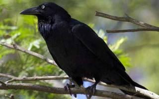 Сон дохлая ворона. Черная ворона по соннику