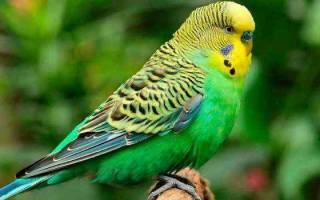 Сонник попугай большой зеленый. Разноцветные попугаи по соннику