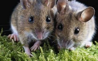 Ловить белых мышей во сне. К чему снится мышь маленькая или большая, много маленьких мышей? Основные толкования — к чему снятся маленькие мыши