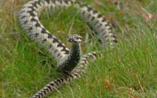 К чему снится много змей. К чему снятся змеи женщине, мужчине. Сонник — толкование змей.