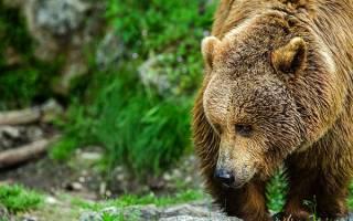 Сонник толкование снов медведь бурый. К чему видеть во сне медведя? Сонник целительницы Евдокии