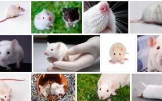 Видеть во сне мышь живую белую. Сонник мыши