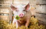 Сонник: к чему снится свинья. К чему может сниться свинья