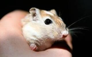 Поймать мышь руками во сне к чему. Что значит когда снятся мыши – толкование Нострадамуса