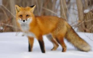 Приснилась бешеная лиса. К чему снится лиса: сновидца хотят перехитрить? К чему снятся лисы в доме