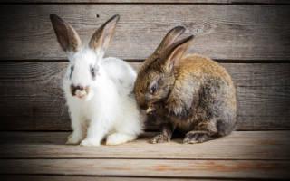 Сонник к чему снится кролик белый. Сонник: кролик
