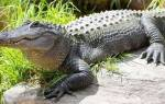 Крокодил напал на человека сонник. О чем предупреждает крокодил во сне