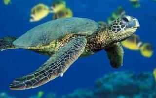 К чему снится злая черепаха. К чему снится черепаха в воде женщине