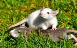 К чему снятся маленькие мышки много. К чему снится белая мышь? Приснилась мышь в мышеловке