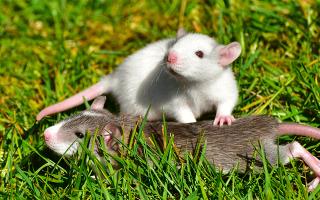 Поймать во сне две белые мыши. К чему снится убить мышь во сне? К чему снится белая мышь