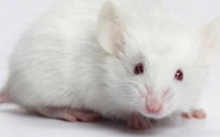 Белые мыши во сне к чему. Белые и пушистые