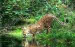 К чему снится леопард которая нападает. К чему снится леопард в доме