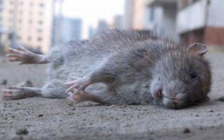 Видеть во сне мертвых крыс. К чему снятся дохлые крысы: толкования сонников и значение сна