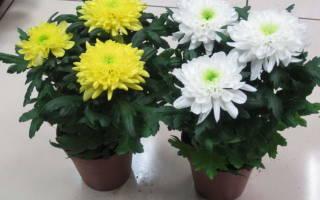 Когда цветет домашняя хризантема. Почему не цветут хризантемы