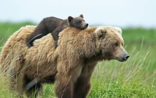 Сон белый медвежонок. К чему снится медвежонок, кормить медвежонка и играть с ним? Основные толкования разных сонников — к чему снится медвежонок