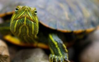 К чему снится поймать черепаху в воде. Большая водная черепаха