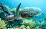 К чему снится черепаха большая в доме. К чему снится черепаха: жизнь требует ускорения? Сонник Густава Миллера: к чему снятся черепахи