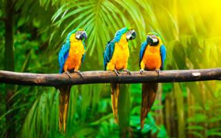 К чему снятся волнистые попугаи много. Приснился попугай во сне