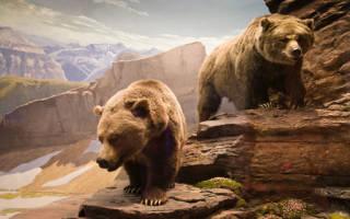 Видеть во сне убивают медведя. Сонник — медведь