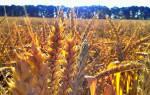Пшеничное поле сонник. Пшеница толкование сонника