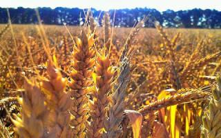 К чему снится пшеница в поле. Поле пшеницы