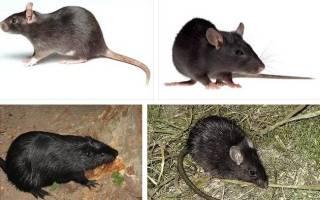 К чему снятся крысы мертвые в земле. К чему снятся крысы во сне женщине? Сонник крысы