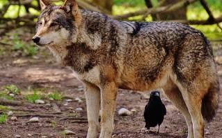 Во сне за мной гнались волки. Что символизируют волки во снах? Значение сна для женщины