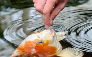 Кормить во сне вареной рыбой кого то. К чему снится кормить рыбу