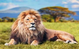 К чему снится лев на цепи. К чему снится лев женщине? Сонник про льва