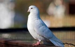 Приснились белые голуби. Голубь белый