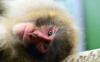 Сонник: к чему снится обезьяна. К чему снится обезьяна женщине? Толкование сонников