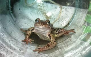 Жаба пришла. О чем предупреждает лягушка в доме — примета расскажет