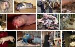 К чему снится много огромных крыс. К чему снятся крысы