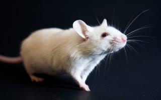 Приснились белые мыши. К чему снятся мыши