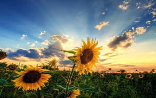 Сонник цветы подсолнуха. Приснились подсолнухи – толкование всех деталей сна