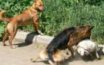 Сонник собаки дерутся друг с другом. К чему снится драка