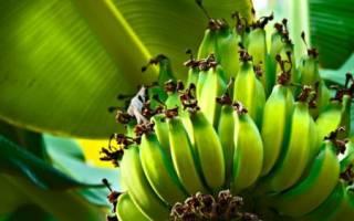 К чему снятся бананы желтые женщине. К чему снятся бананы женщине
