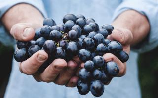 К чему снится собирать виноград. К чему снится виноград женщине