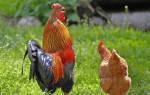 К чему снится много куриц и петухов. Что означает видеть во сне живых курицу и петуха? К чему снится пернатое семейство? Женский сонник К чему снится Курица по соннику